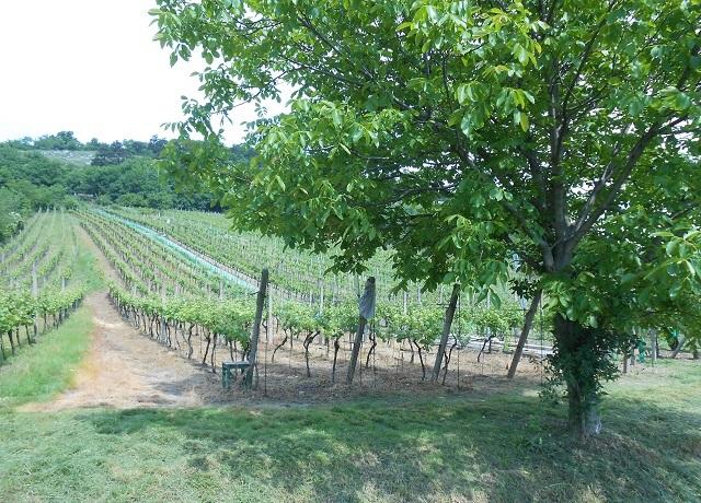 Prodej vinohradu 1 426 m², Mikulov