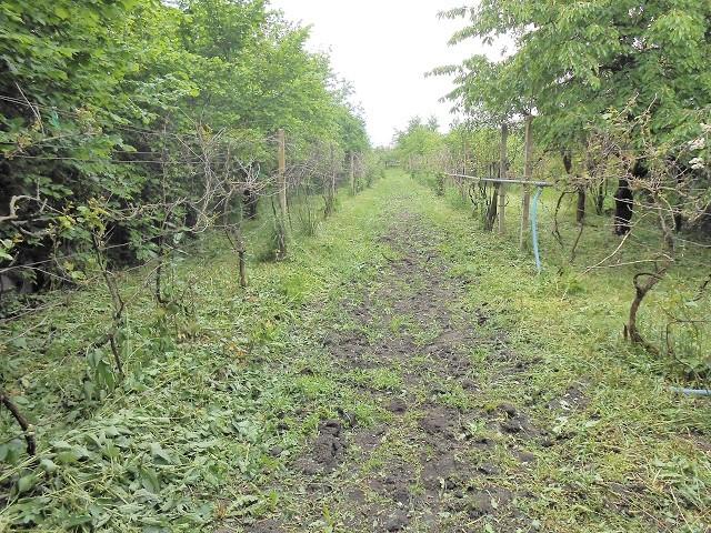 Vinohrad od maringotky