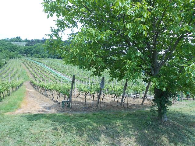 Vinohrad zleva zespodu