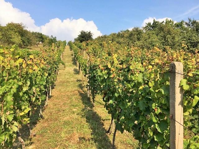 Přední část vinohradu v létě