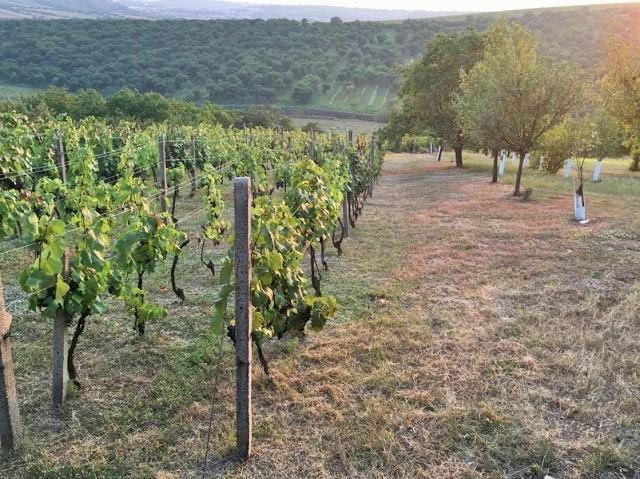 Výhled z vinohradu v létě