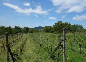 Prodej vinohradu 662 m², Mikulov, Mušlov