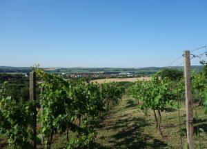 Prodej vinohradu 1 952 m², Čejč, k.ú. Hovorany